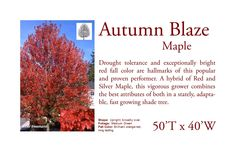 Autumn Blaze Red Maple. One of the largest maples we recommend.