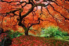 Flight Of The Phoenix  ~Aaron Reed  The world famous Japanese Maple in Portland, Oregon's Japanese garden.