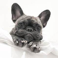 The major breeds of bulldogs are English bulldog, American bulldog, and French bulldog. The bulldog has a broad shoulder which matches with the head. French Bulldog Blue, French Bulldog Puppies, French Bulldogs, Frenchie Puppies, Cute Puppies, Cute Dogs, Dogs And Puppies, Dogs Pitbull, Doggies