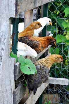 The chickens want to know...What's out there?  What's going on?  We want to know... Is there food on its way?