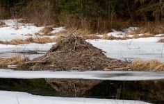 winter beaver lodge