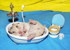 I love this! A little hamster falls asleep in her bathtub. Photo of her Florica by Klara Puchikumo / pyza* via Flickr