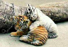 Baby White Bengal Tigerbaby Bengal Tiger White Tiger Wild Animals Pinterest Yjrpgwih