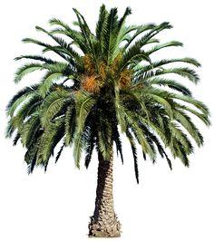 20 Free Tree PNG Images  - phoenixcanariensisL01