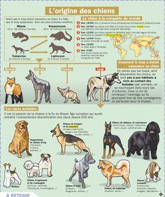 Educational infographic : Fiche exposés : L'origine des chiens