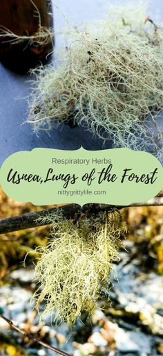 Usnea has a great affinity for the respiratory system, as well as being a profound infection fighter for the whole body. Medicinal tincture recipe included.