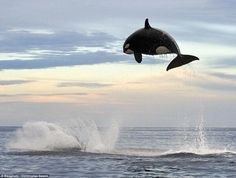 I could be wrong, but it looks like this orca is trying to outdo the dolphin in the first pic. :) If so, the orca succeeded--huge breach! The Ocean, Ocean Life, Orcas, Beautiful Creatures, Animals Beautiful, Funny Animals, Cute Animals, Animal Memes, Animal Pics