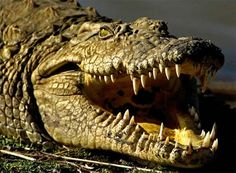 crocodile, jaws and teeth, on land and in the water