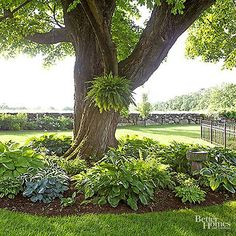 How and when should you divide your hostas? Divide every years in spring, summer or fall (although late summer is the best time). To divide, dig up your entire hosta and you will notice the individual plants. Look for the crowns and divide the clumps. Landscaping Around Trees, Front Yard Landscaping, Mulch Around Trees, Plants Under Trees, Shade Plants, Cool Plants, Hosta Plants, Perfect Plants, Shade Trees