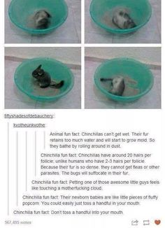 Omg a post about chinchillas! I've heard my mom say these a million times when selling chinchillas, but it's still cool to know someone else knows it. Animal Memes, Funny Animals, Cute Animals, Animal Facts, Animal Humor, Animal Quotes, Crazy Animals, Animal Fun, Animals Images