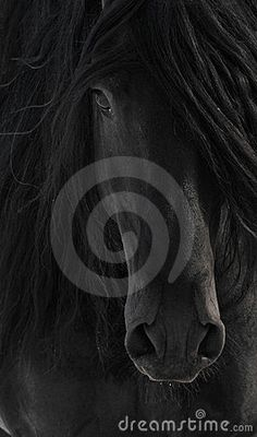 Black Frisian Horse Portrait - Download From Over 57 Million High Quality Stock Photos, Images, Vectors. Sign up for FREE today. Image: 11192561