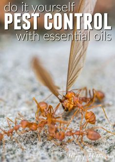 Are you looking for do it yourself pest control tips that work? Learn how you can use essential oils to deter common bugs and pests from your home.
