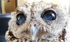 Com 'estrelas' nos olhos, coruja cega encanta moradores de cidade da Califórnia - Jornal O Globo