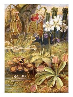 A Group of Carnivorous Plants, Illustration from 'Wonders of Land and Sea' by Graeme Williams Giclee Print by Theobald Carreras at AllPosters.com