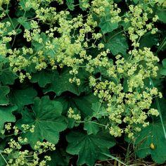 Lady's-Mantle - Top 10 Plants for Seaside Gardens - Coastal Living