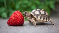 Do Baby Turtles Eat? Baby Turtle Food Make sure you feed your baby turtle the right things. Read on to find out what baby turtles eat.Make sure you feed your baby turtle the right things. Read on to find out what baby turtles eat. Cute Baby Animals, Animals And Pets, Funny Animals, Small Animals, Wild Animals, Animals Tumblr, Cut Animals, Exotic Animals, Unusual Animals