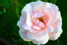 Rose*