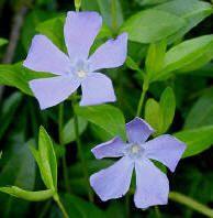 Soorten groenblijvende bodembedekkers of wintergroene bodembedekkende vaste planten.