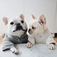 Theo and the New Puppy, French Bulldogs, @theobonaparte