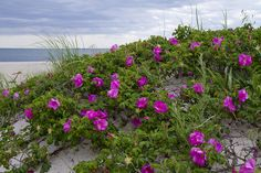 Rosa Rugosa - another beach companion.