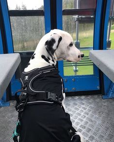 "Levi.ski sanoo Instagramissa: ""@rio.dalmatian going to #topoflevi 🗻 Did you know that you can also take your dog with you when taking a scenic lift ride on the top of…"" Midnight Sun, Dalmatian, Mountain Biking, Ski, Your Dog, Adventure, Dogs, Summer, Animals"