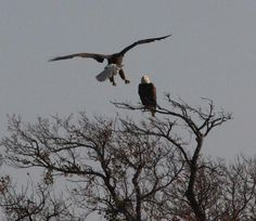 "Here are a couple of ""snowbirds"" visiting Texas for the winter. A pair of bald eagles has taken up residence at Lake Somerville State Park near College Station"