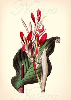 Red vintage botanical illustration