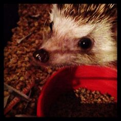 #hendrixthehedgehog #hedgehog Ferret, Quilling, Hedgehog, Animals, Animais, Animales, Animaux, Ferrets, Hedgehogs
