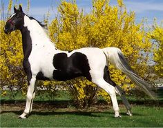 Tiger Woods is a stunning American Saddlebred stallion at Paradise Equestrian Center.