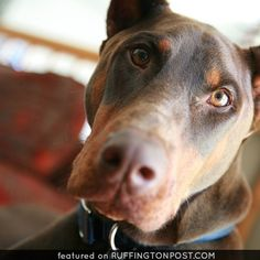 A Doberman's loving eyes - Ruffington Post Doberman Dogs, Doberman Pinscher, How Big Is Baby, Puppy Pictures, Mans Best Friend, Adorable Animals, Animal Kingdom, Cute Dogs, Lovers