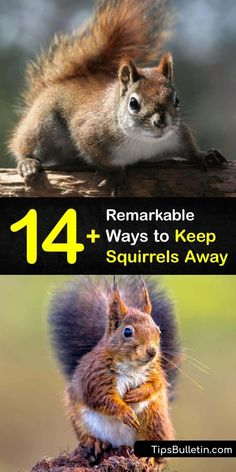 Make a quick run to your local hardware store and pick up some mulch, birdseed, sprinklers, safflower seeds, and chicken wire in order to make homemade squirrel repellent. These ideas for homemade pest control keep critters at a distance without hiring an exterminator. #keep #squirrels #away Squirrel Repellant, Get Rid Of Squirrels, Motion Activated Sprinkler, Squirrel Baffle, Run To You, Sprinklers, Chicken Runs, Chicken Wire, Garden Pests