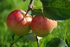 Pruning Apple Trees - Tips On How To Prune Apple Trees