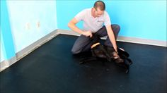 Canine Side Bend Exercies (Ab work out for your dog) dog fitness ; dog exercise ; canine physical therapy rehabilitation