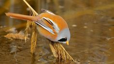 Panure à moustaches - Bearded Reedling (Panurus biarmicus)!