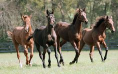 One of the boys. Weaned- 12Z, now Cozmic One, Zenyatta's colt by Bernardini, second from left, and friends. Young, wild and free. Cozmic One is a half-sibling to his half-Aunt, Eblouissante, a Bernardini daughter.