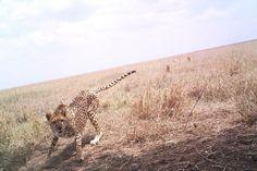 Serengeti snaps capture secret lives of animals - life - 09 June 2015 - New Scientist