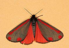 Cinnabar Moth - Tyria jacobaeae