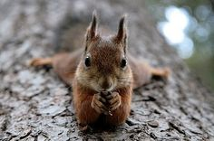 ...then, you open the nut like this...and lay down to eat it like this.
