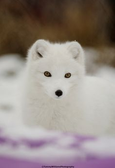 Arctic Fox Winter Coat by Tommy Williams*