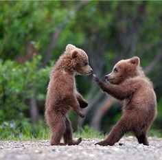 """superbnature: """"Grizzly bear cubs have to be some of the cutest animals on earth, especially spring cubs! These two were as cute as any stuffed teddy bear, except these cubs never stopped playing,. Grizzly Bear Cub, Bear Cubs, Baby Bears, Tiger Cubs, Teddy Bears, 3 Bears, Panda Bears, Tiger Tiger, Cute Baby Animals"""