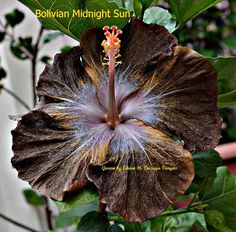 Bolivian Midnight Sun Rare Flowers, Black Flowers, Hibiscus Flowers, Trees And Shrubs, Hedges, Fascinator, House Plants, Tropical, Midnight Sun
