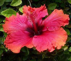 Orange & Pink Hibiscus