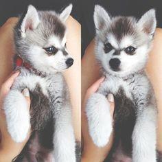 Huskies are so cute!♡