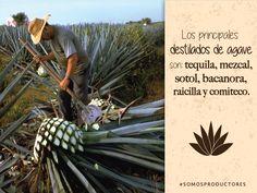 Los principales destilados de agave son: tequila, mezcal, sotol, bacanora, raicilla y comiteco. SAGARPA SAGARPAMX #SomosProductores