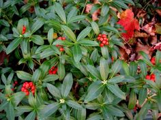 More fall color for the shady garden - Japanese skimmia. This site has lots of shade suggestions.