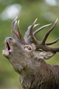 Red Deer Cervus Elaphus Stag Bugling