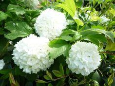 Viburnum opulus. Winterharde, bloeiende struik/heester die in de winter bladverliezend is. De plant is mooi vanwege de vele witte bolvormige bloemen, de bessen die zich erna vormen en de herfstverkleuring van het blad. Kan 2,5 tot 3 meter hoog worden.