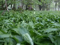 Fields of wild garlic - use all of the plant - including the flowers. Good for salads and making pesto