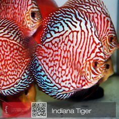 Discus Fish, Freshwater Aquarium Fish, Angelfish, Water Life, Beautiful Fish, Fish Tanks, Bird Cages, Cichlids, Aquascaping