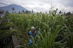 Australian Airlines Return to Bali but Volcanic Threat Remains High  A villager cuts grass to feed his cows with a backdrop of the Mount Agung erupting in Karangasem Bali Indonesia. Authorities have told tens of thousands of people to leave an area extending 10 kilometers (6 miles) from the volcano as it belches volcanic materials into the air. Mount Agung's last major eruption in 1963 killed about 1100 people. Firdia Lisnawati / Associated Press  Skift Take: With experts warning that the…